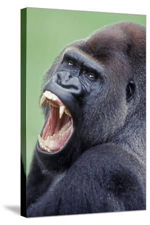 Lowland Gorilla Male with Mouth Open--Stretched Canvas Print