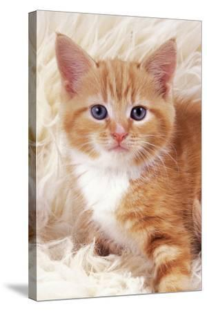 Ginger Kitten, Close-Up on Rug--Stretched Canvas Print
