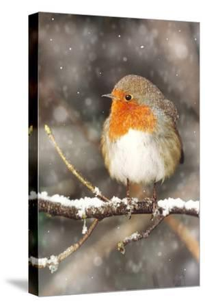 Robin on Snow Covered Branch with Falling Snow--Stretched Canvas Print