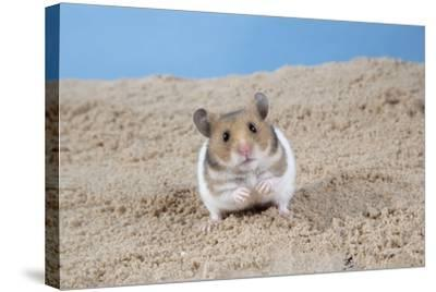 Hamster Digging in Sand--Stretched Canvas Print