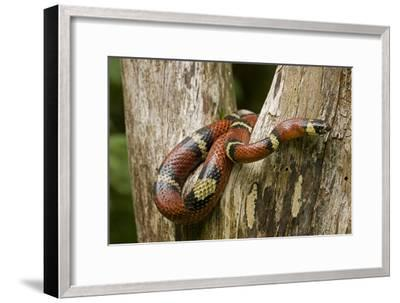 Tropical Milk Snake--Framed Premium Photographic Print