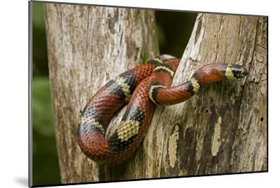 Tropical Milk Snake--Mounted Premium Photographic Print