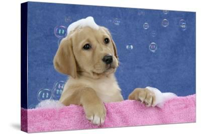 Labrador Retriever 9 Wk Old Puppies With--Stretched Canvas Print
