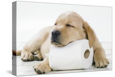 Yellow Labrador Puppy Asleep on Toilet Roll, 9 Weeks--Stretched Canvas Print