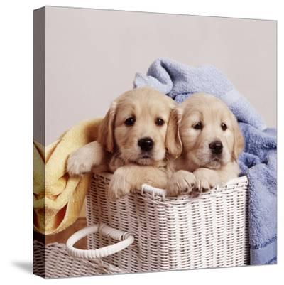 Golden Retriever Dog Two Puppies in Laundry Basket--Stretched Canvas Print