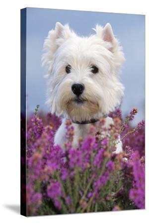 West Highland White Terrier Dog in Heather Flowers--Stretched Canvas Print