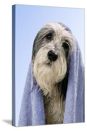 Wet Dog with Towel, Close-Up of Head--Stretched Canvas Print