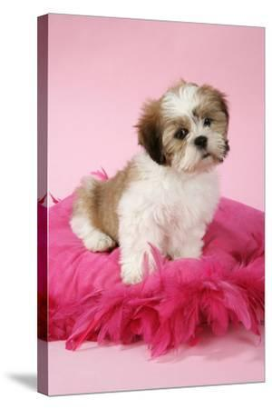 Shih Tzu 10 Week Old Puppy on Pink Cushion--Stretched Canvas Print