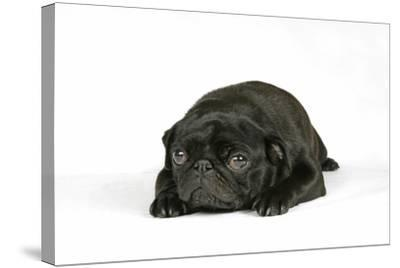 Black Pug Puppy (6 Weeks Old) Lying Down--Stretched Canvas Print