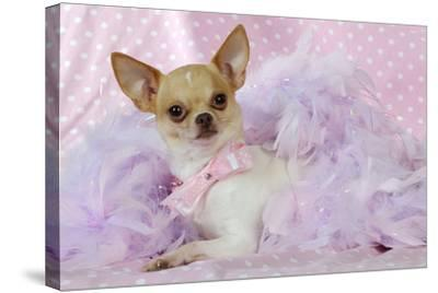 Chihuahua Wearing Pink Collar Laying on Purple--Stretched Canvas Print