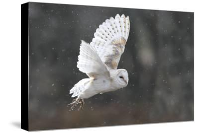 Barn Owl in Flight--Stretched Canvas Print