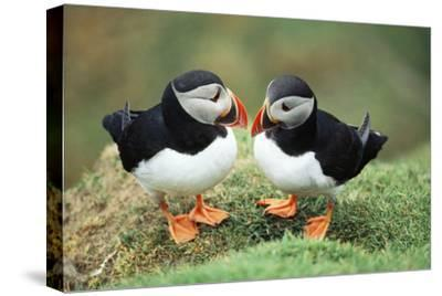 Atlantic Puffins Pair--Stretched Canvas Print