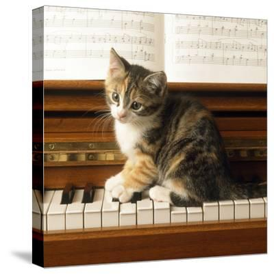 Kitten Playing on Piano--Stretched Canvas Print