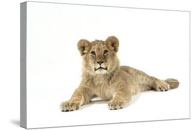 Lion Cub (Approx 16 Weeks Old) Lying--Stretched Canvas Print