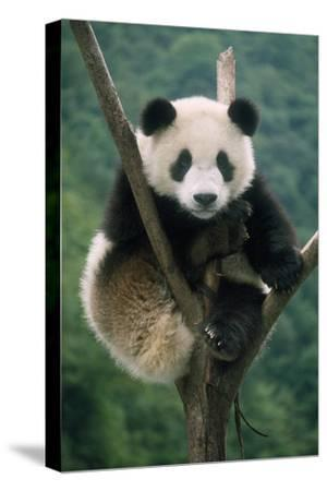 Giant Panda Juvenile Sitting in Tree Fork--Stretched Canvas Print
