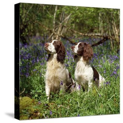 English Springer Spaniel Dogs in Bluebell Woodland--Stretched Canvas Print