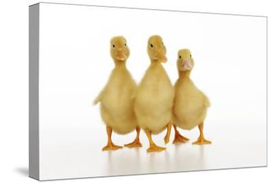Three Ducklings Stood in a Row--Stretched Canvas Print
