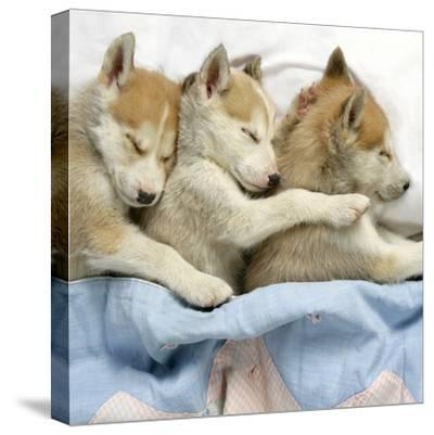 Husky Puppies (7 Weeks Old) Asleep in Bed--Stretched Canvas Print