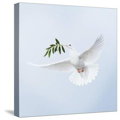 Dove in Flight Carrying Olive Branch in Beak Opeaceo--Stretched Canvas Print