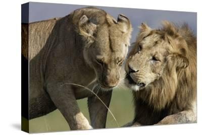 Lion Male and Female--Stretched Canvas Print