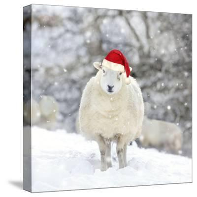 Sheep Texel Ewe in Snow Wearing Christmas Hat--Stretched Canvas Print