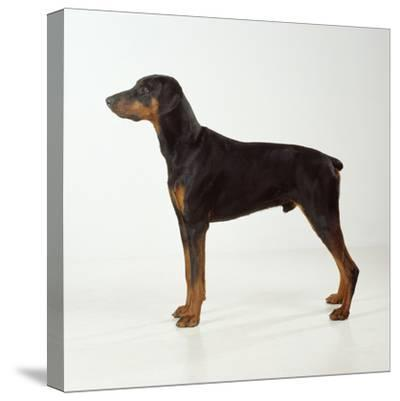 Doberman Pinscher, Standing, Side View--Stretched Canvas Print