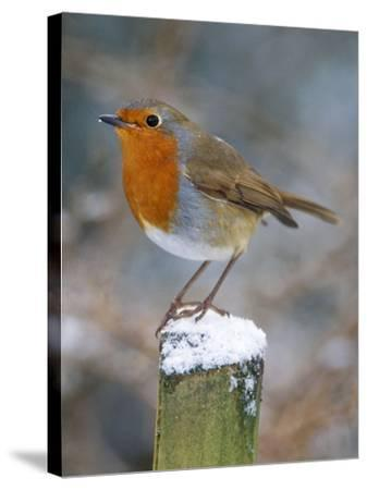 Robin on Post--Stretched Canvas Print
