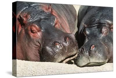 River Hippopotamus, Two Sleeping Together--Stretched Canvas Print