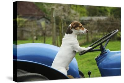 Jack Russell Terrier Sitting on Tractor--Stretched Canvas Print