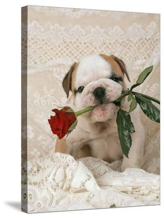 Bulldog Puppy with Rose in Mouth--Stretched Canvas Print
