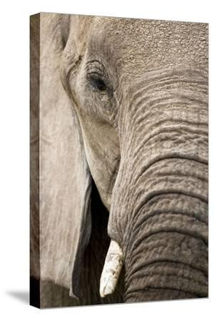 African Elephant--Stretched Canvas Print