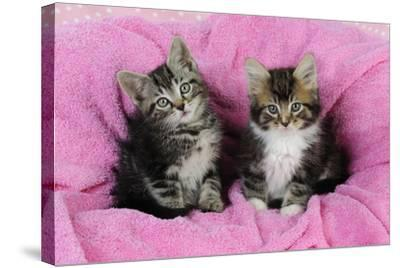 Kittens on Pink Towel--Stretched Canvas Print