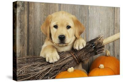 Labrador (8 Week Old Pup) with Broom and Pumpkins--Stretched Canvas Print