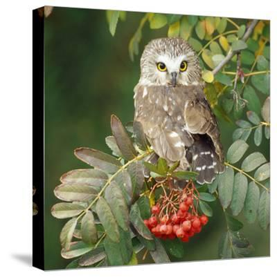 Saw-Whet Owl Perched in Rowan Tree--Stretched Canvas Print