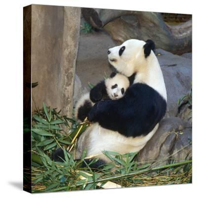 Giant Panda Female Holding Four Month Old Young--Stretched Canvas Print