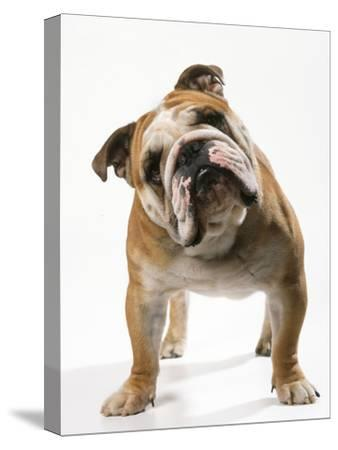 Bulldog--Stretched Canvas Print