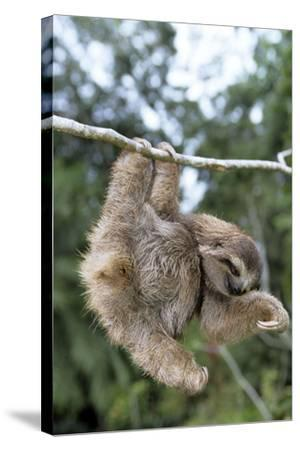 Brown-Throated 3-Toed Sloth--Stretched Canvas Print