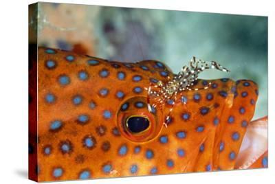 Cleaner Shrimp Cleaning Grouper--Stretched Canvas Print
