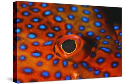 Coral Grouper, Close Up of Eye--Stretched Canvas Print
