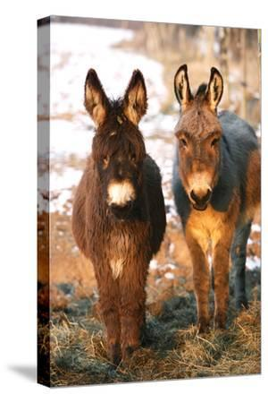 Poitou Donkey and Normal Donkey (On Right) Facing Camera--Stretched Canvas Print