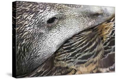 Common Eider Duck Female, Close-Up of Eye And--Stretched Canvas Print