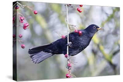 Common Blackbird Hanging from Hawthorn Bush--Stretched Canvas Print