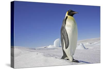 Emperor Penguin Adult--Stretched Canvas Print