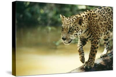 Jaguar Sub-Adult Male Crossing River on Log--Stretched Canvas Print