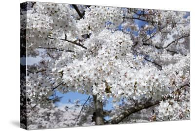 Japanese Cherry Trees in Full Spring Blossom--Stretched Canvas Print