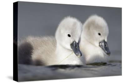 Mute Swan Two Chicks a Few Days Old--Stretched Canvas Print