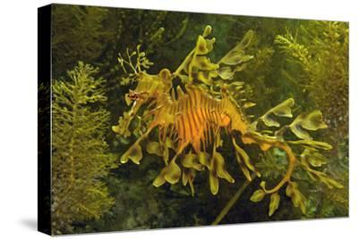 Leafy Sea Dragon--Stretched Canvas Print