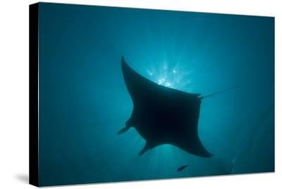Manta Ray--Stretched Canvas Print