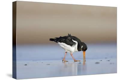 Oystercatcher Probing into the Sand for a Worm--Stretched Canvas Print