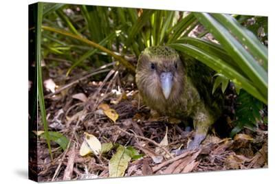 Kakapo Wild Male known as Sirocco--Stretched Canvas Print